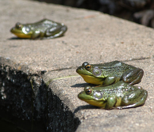 Frogs basking by a Port Washington pond