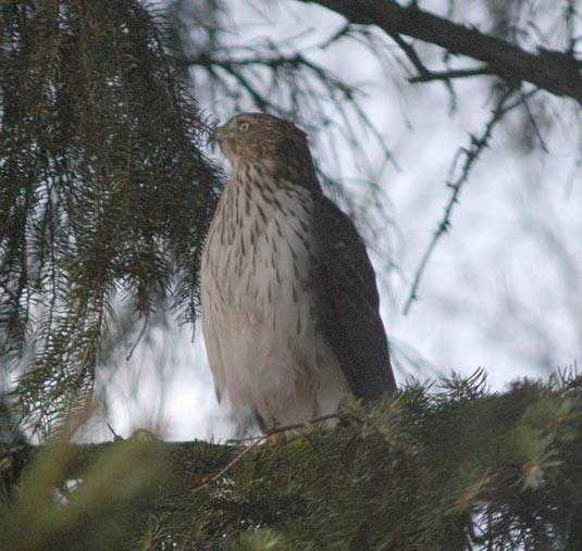 Hawk in evergreens